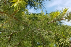 Larix decidua (Alerce europeo)  hoja