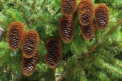 Picea abies (Abeto rojo) fruto