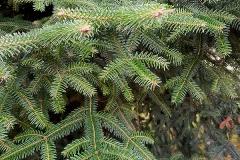 Picea blanca (Picea glauca) hoja
