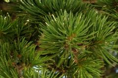 Pinus mugo (Pino negro) hoja