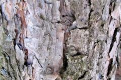 Pinus nigra (Pino negral) corteza