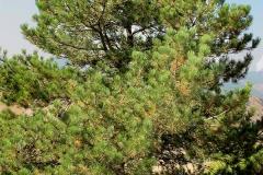 Pinus nigra (Pino negral)