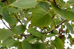 Populus nigra (Alamo negro) hoja