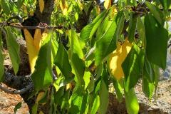 Prunus cerasus (Cerezo) hoja