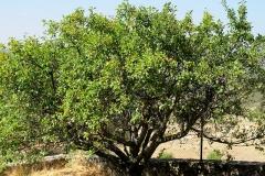 Prunus domestica (Ciruelo)