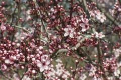 Prunus domestica (Ciruelo) flores