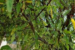 Prunus dulcis (Almendro) hoja
