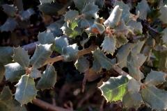Quercus coccifera (Coscoja) hoja