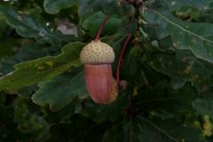 Quercus pyrenaica (Melojo) fruto