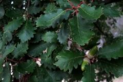 Quercus pyrenaica (Melojo) hoja