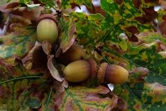 Quercus robur (Roble carballo) fruto
