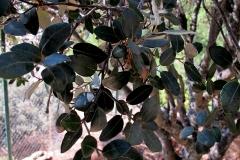 Quercus rotundifolia (Carrasca) hoja