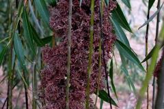 Salix babylonica (Sauce llorón) flores