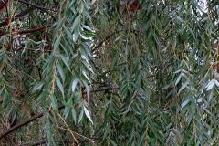 Salix babylonica (Sauce llorón) hoja