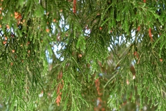 Thuja orientalis (Tuya) hoja