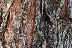Thuja orientalis (Tuya) corteza