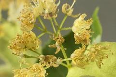 Tilia cordata (Tilo) flor