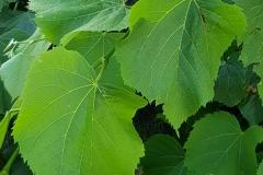 Tilia platyphyllos (Tilo de hoja ancha) hoja