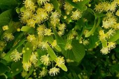 Tilia platyphyllos (Tilo de hoja ancha) flores