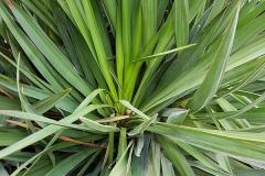 Yucca gloriosa (Yuca) hoja