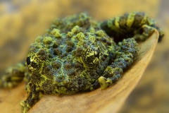 Theloderma corticale
