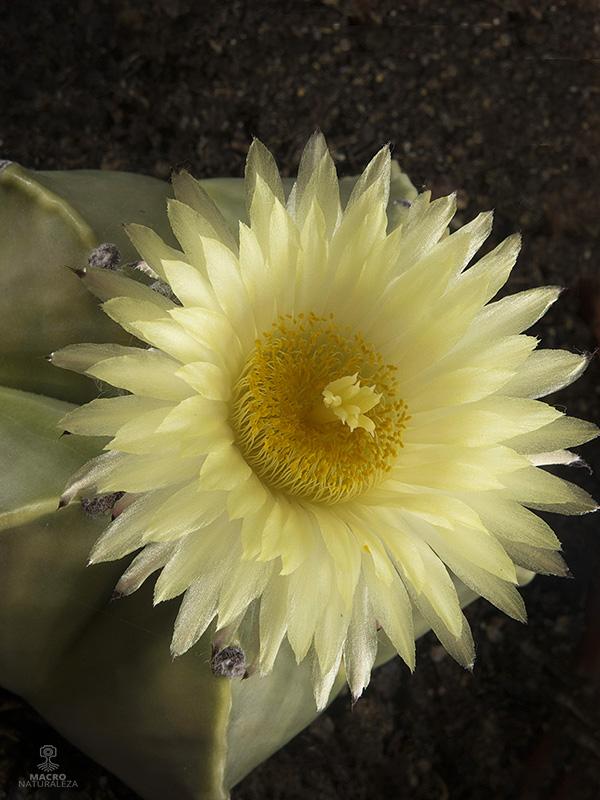 Astrophytum myriostigma (Mitra)
