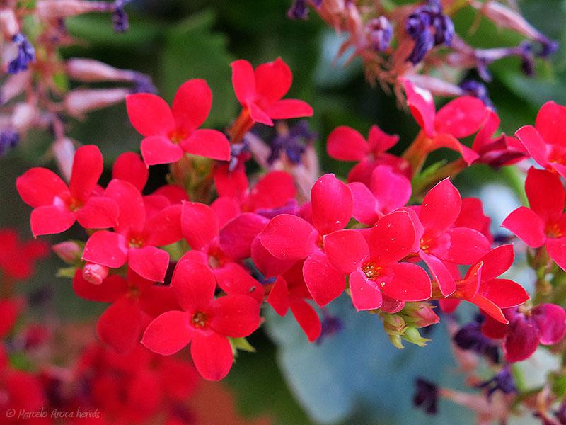 Kalanchoe blossfeldiana (Calanchoe)