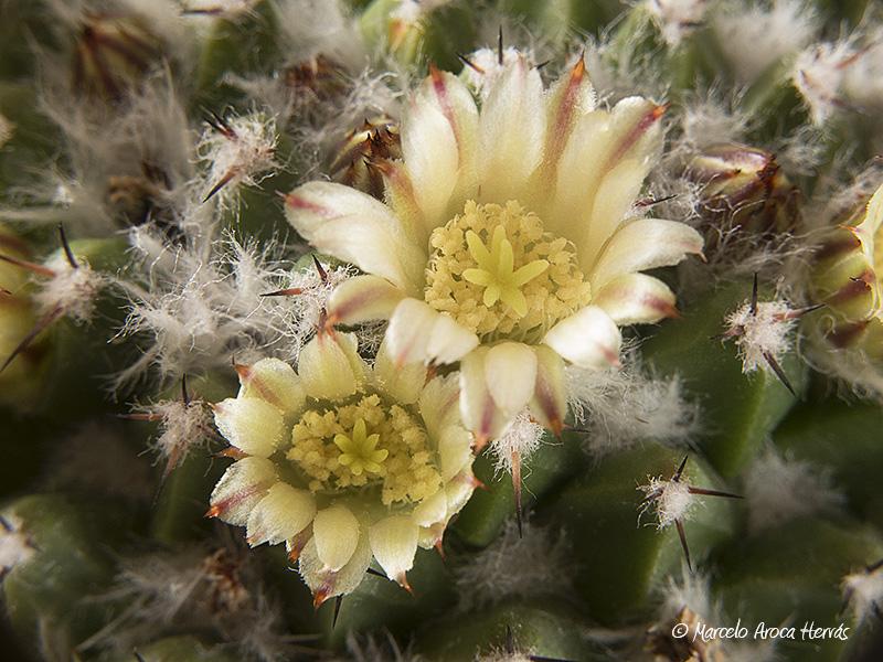 Mammillaria winterae
