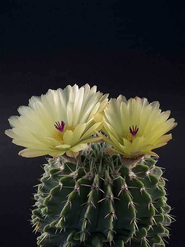 Notocactus buiningii (Parodia buiningii)