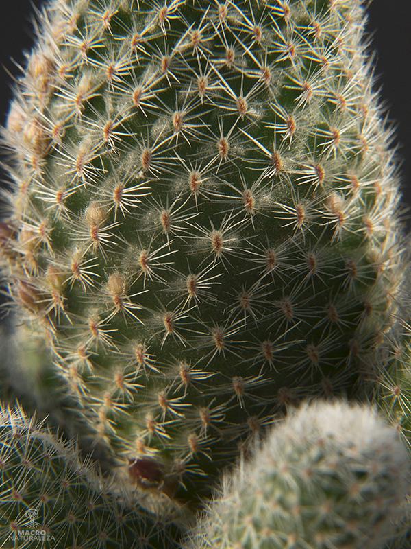Rebutia albiflora