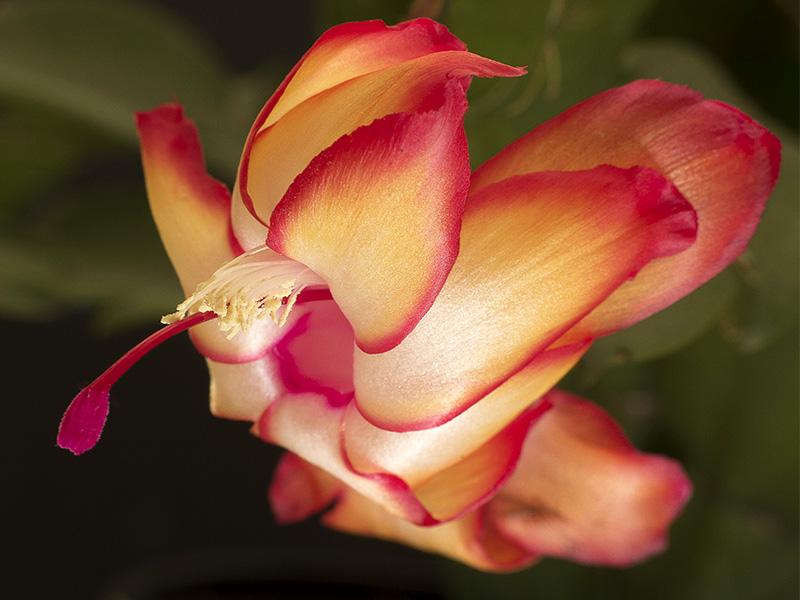 Zygocactus truncatus (Schlumbergera truncatus)