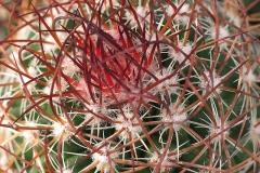 Echinocereus engelmaninii