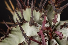 Euphorbia horrida var. striata