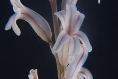 Haworthia retusa