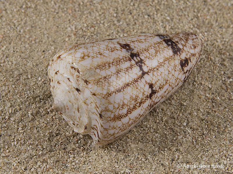Conus-araneosus-01