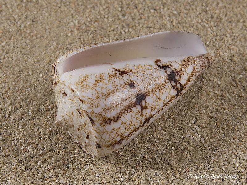 Conus-araneosus-02