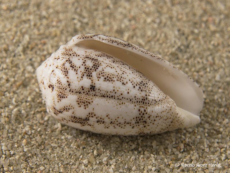 Conus-arenatus-02