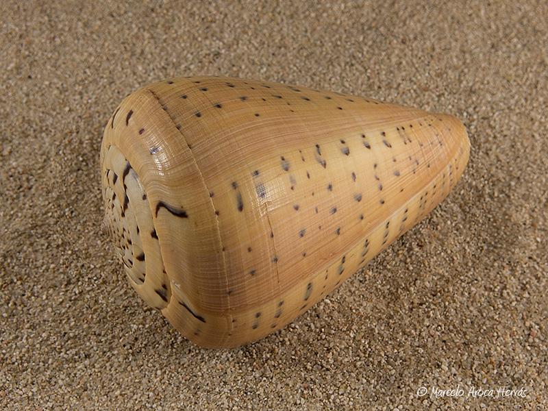 Conus-betulinus-01