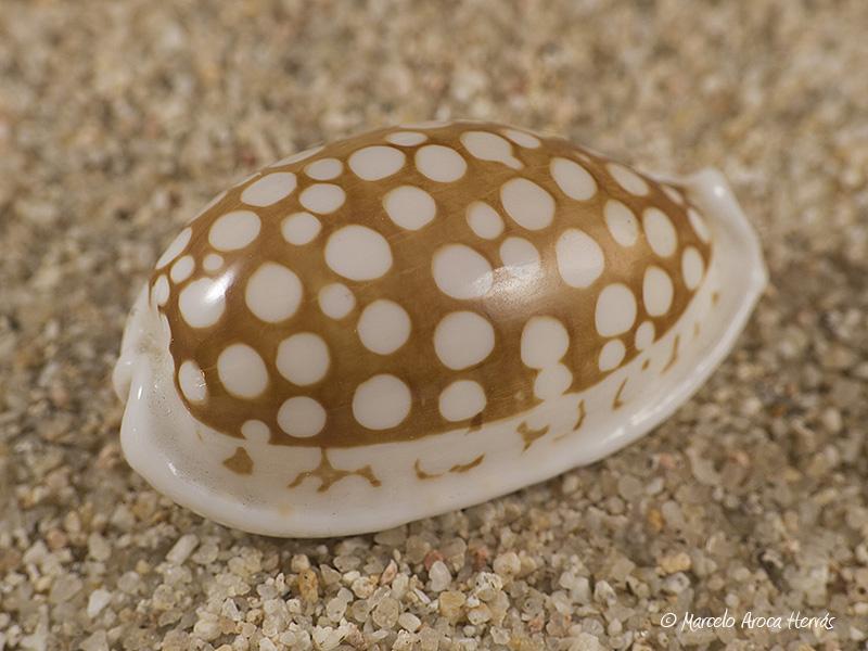 Cypraea-cribraria-01