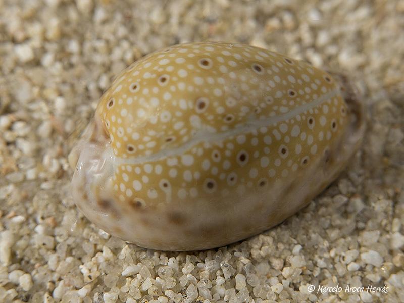 Cypraea-ocellata-01