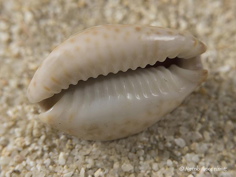 Cypraea-ocellata-02
