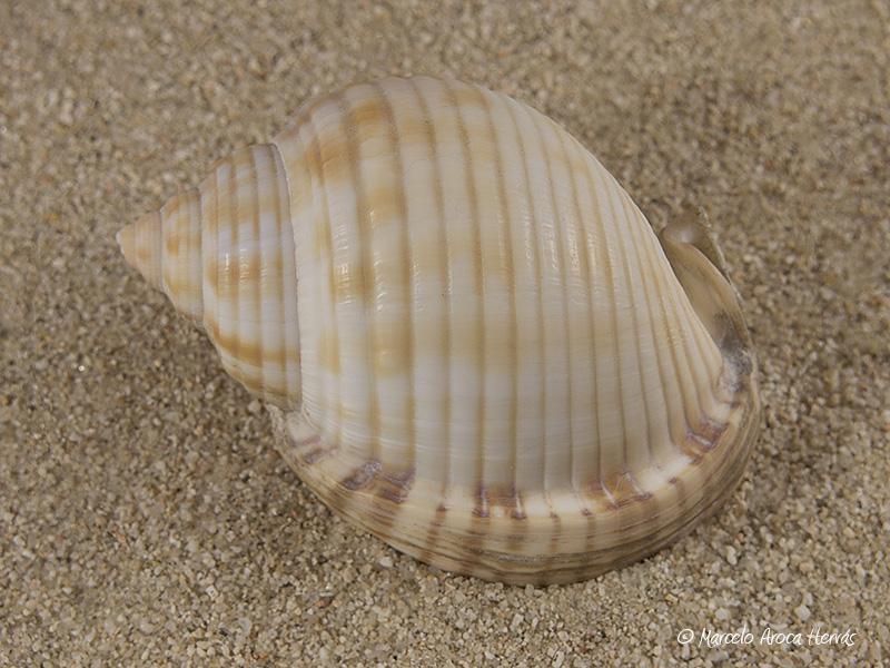 Semicassis-undulata-01