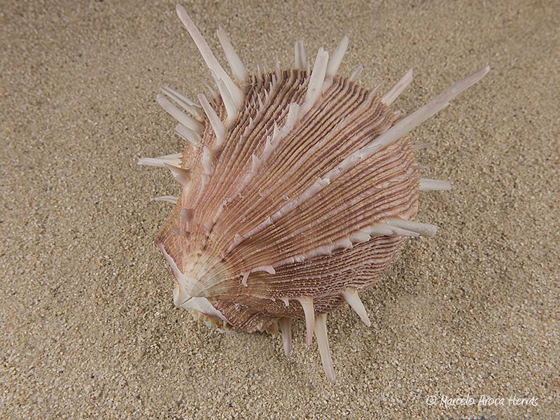 Spondylus-regius-01