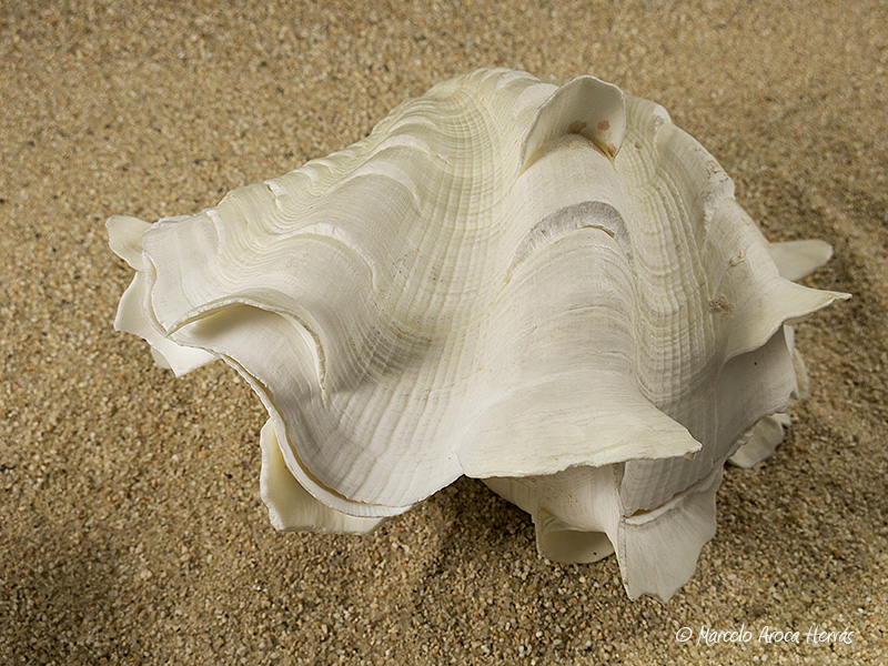 Tridacna-squamosa-01
