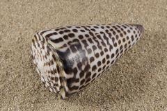 Conus-eburneus-poliglota-01