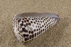 Conus-eburneus-poliglota-02