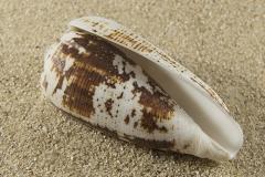 Conus-imperialis-virudulus-02