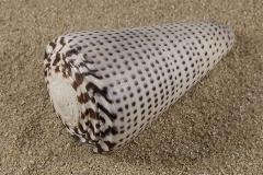 Conus-litteratus-01