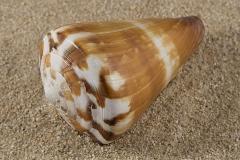 Conus-vexillum-01