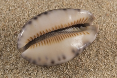 Cypraea-arabica-02